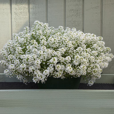 Alyssum North Face