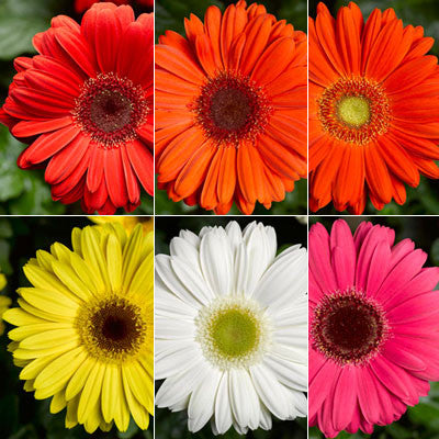 Gerbera Seeds - Buy seeds for Gerbera Daisies – Harris Seeds