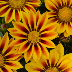 Gazania New Day Red Stripe F1