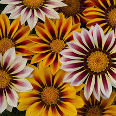 Gazania New Day Tiger Mix F1