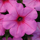 Petunia Easy Wave Pink Passion F1