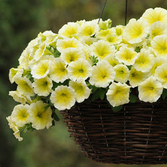Petunia Easy Wave Yellow F1