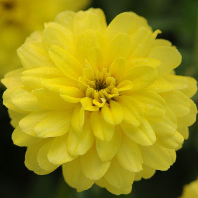Zinnia Zahara Double Yellow