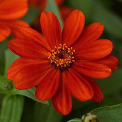 Zinnia Zahara Red