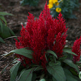 Celosia Dragon's Breath