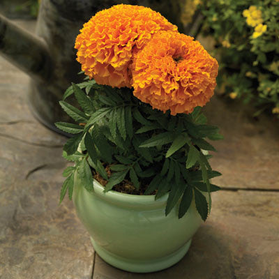 Marigold Proud Mari Orange F1
