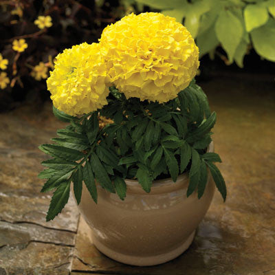 Marigold Proud Mari Yellow F1