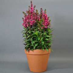 Lobelia Starship Rose F1