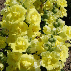 Snapdragon Twinny Yellow Shades F1