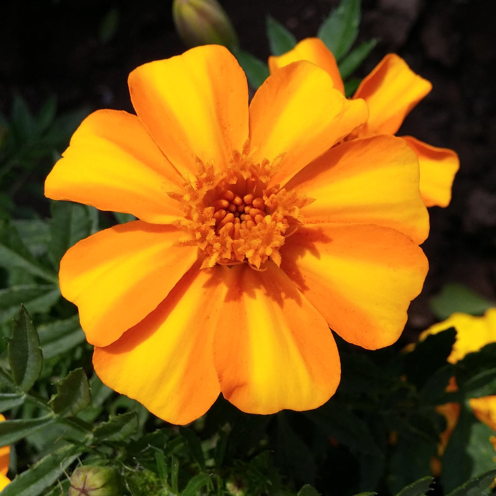 Flower Home Decor Marigold Bambino Harris Seeds