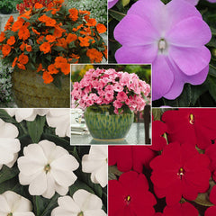Impatiens New Guinea Divine Collection F1