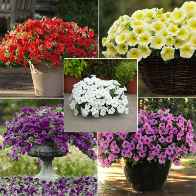 Petunia Easy Wave Primary Colors Collection F1