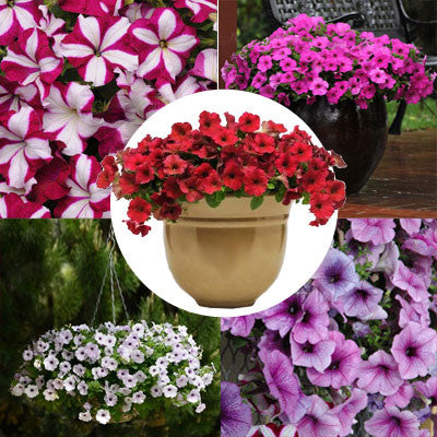 Petunia Easy Wave Novelty Collection F1