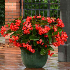 Begonia Megawatt Green Leaf Red F1
