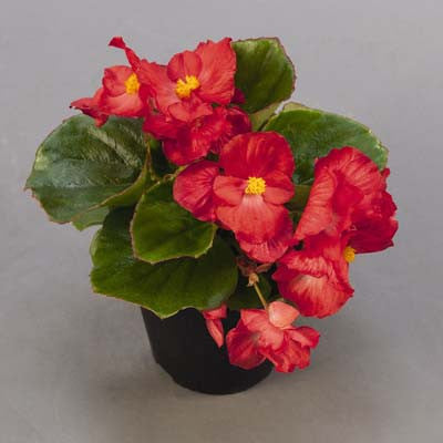 Begonia Sprint Plus Red F1