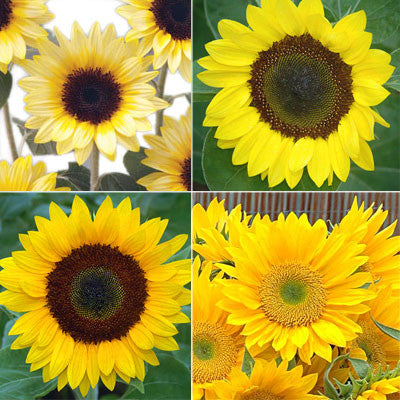 Sunflower Sunrich Collection