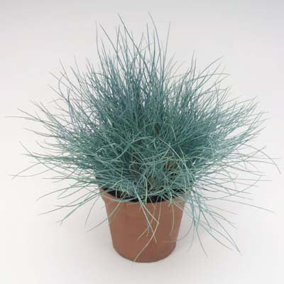 Festuca Buddy Blue