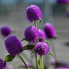 Gomphrena Ping Pong Lavender
