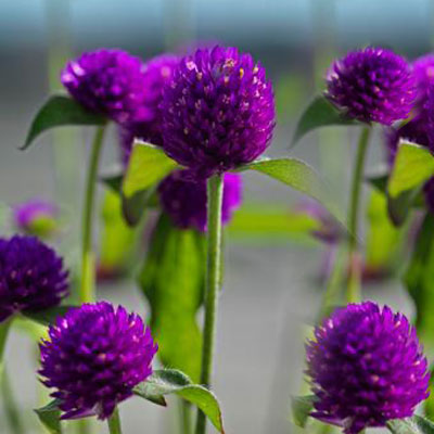 Gomphrena Ping Pong Purple Harris Seeds
