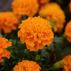 Marigold Hot Pak Orange