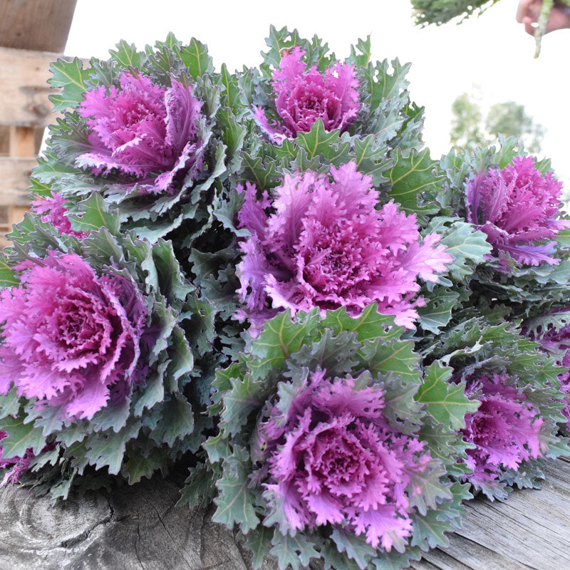 Ornamental Kale Crane Feather Queen F1 Seeds
