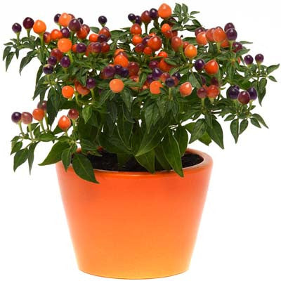 Ornamental Pepper Hot Pops Purple