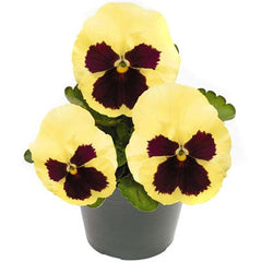 Pansy Inspire Plus Lemon Blotch F1