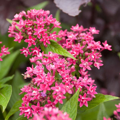 Pentas HoneyCluster Mix Seeds