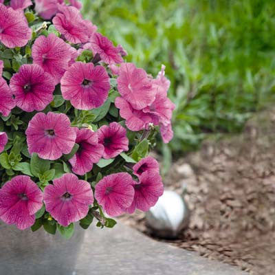 Petunia Success Pink Vein F1
