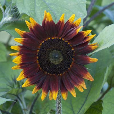 Sunflower Shock-o-Lat F1
