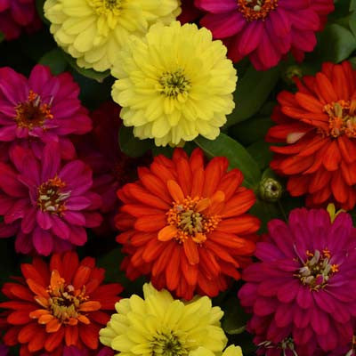 Zinnia Zahara Double Brilliant Mix
