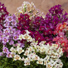 Snapdragon Antiquity Mix