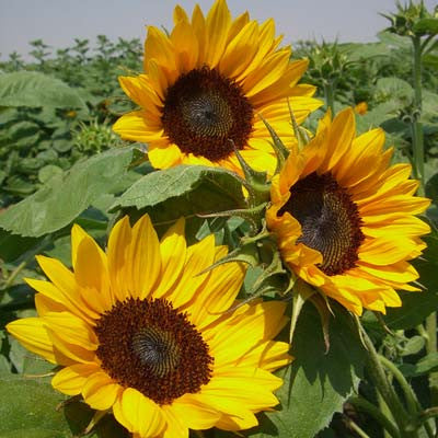 Sunflower Gold Rush F1