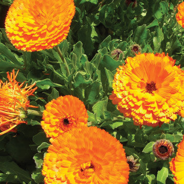 Calendula Maayan Dark Orange