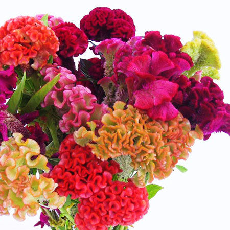 Celosia Supercrest Mix