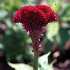 Celosia Chief Scarlet Organic