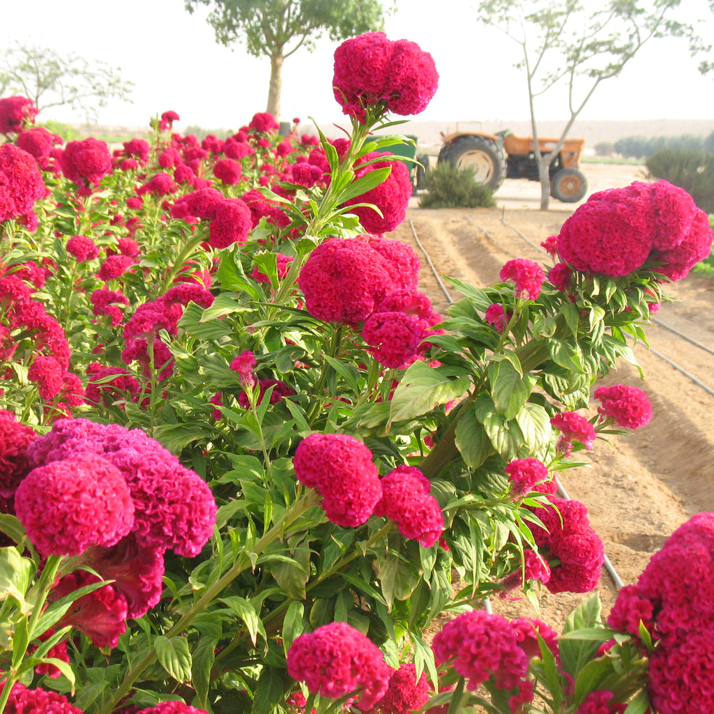 Celosia Chief Dark Rose Organic