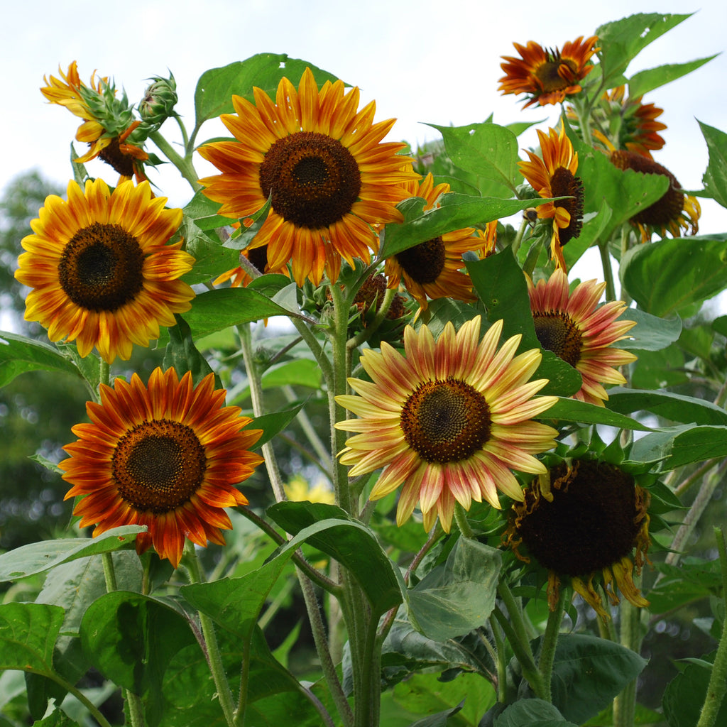 Sunflower Seeds Grow Sunflowers From Seed Harris Seeds