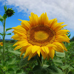 Sunflower Titan Organic