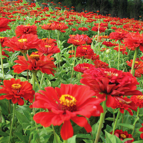 Zinnia Red Beauty Organic