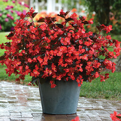 Begonia Megawatt Bronze Leaf Red