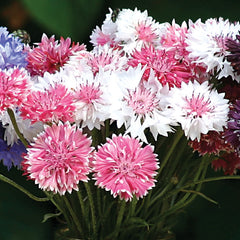 Centaurea Classic Romantic Mix