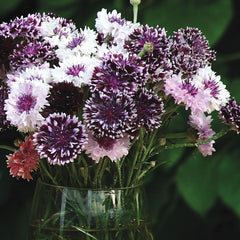 Centaurea Classic Magic Mix