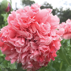 Poppy Sallie's Double Pink Organic