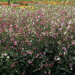 Nicotiana Whispers Mix F1
