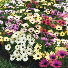 Osteospermum Akila Grand Canyon Mix