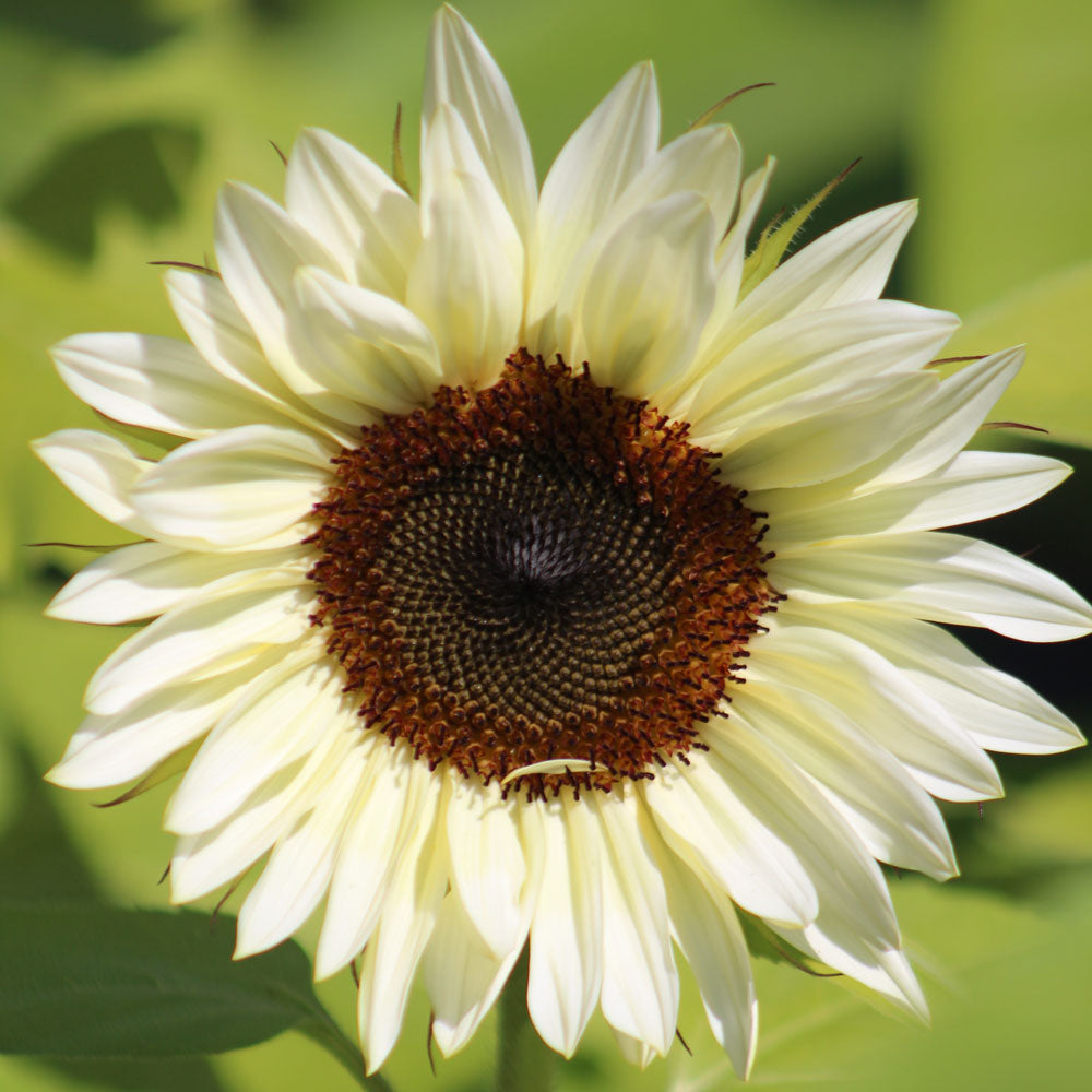Sunflower Pro Cut White Nite F1 Seeds