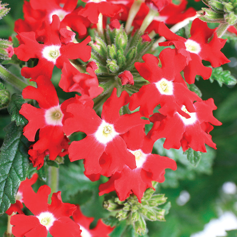 Verbena Obsession™ Cascade Red w/Eye Seeds