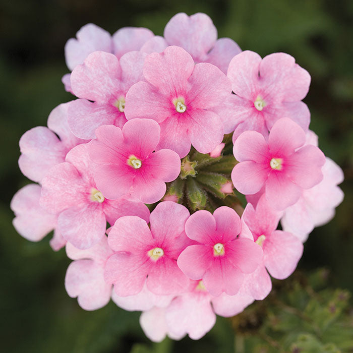 Verbena Obsession™ Cascade Pink Shades