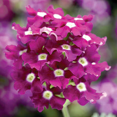 Verbena Obsession™ Cascade Purple Shades w/Eye
